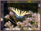 Swallowtail Butterfly ~ Jan, 2004