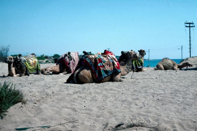 alanya side camels
