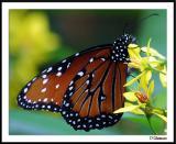 7/31/04 -- Butterfly, Monarch, One Each