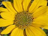 Yellow Flower Detail