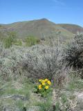 Flowers and View across Yakima Canyon