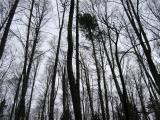 TreesShy Bear / Wilderness Peak