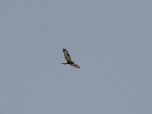 Rough-Legged hawk....wing pattern