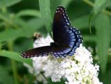 A Blue Red Spotted Purple Butterfly on White Buddleja