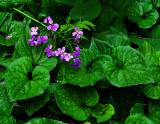 Violet Blossoms on Green Leaves