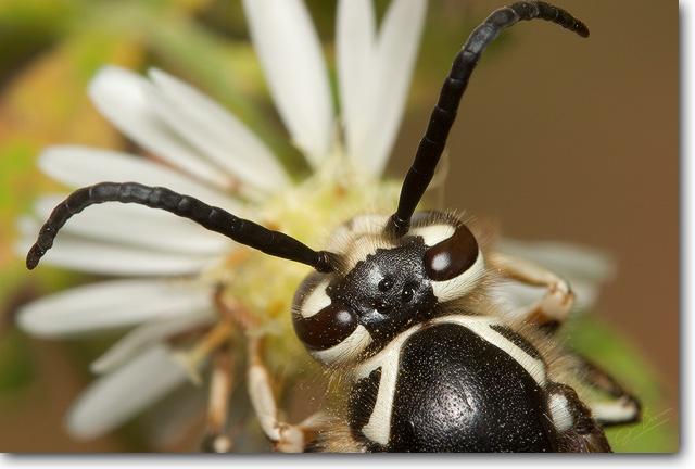 <!-- CRW_7909.jpg -->Bald-faced Hornet