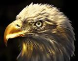 Golden-Eagle-07.