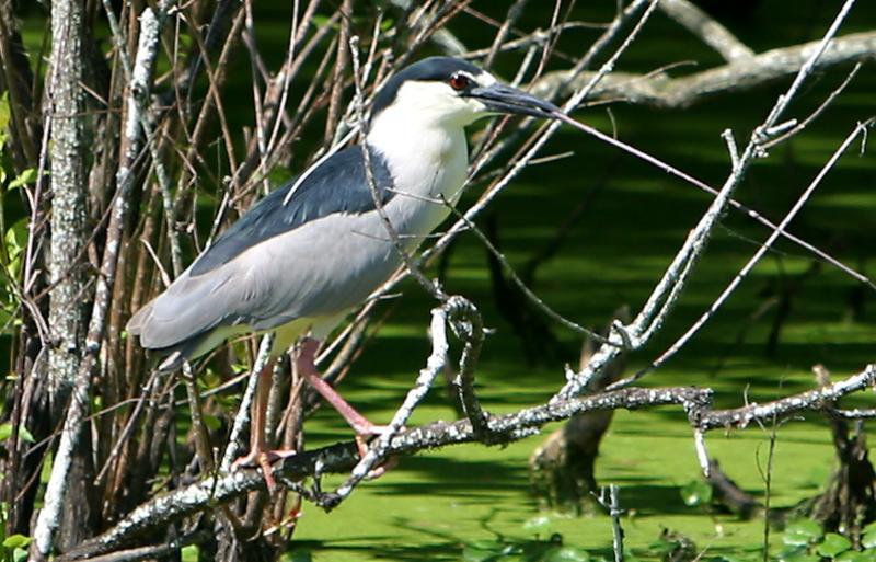 Black_crowned Night Heron <I>(Nycticorax nycticorax)</I>