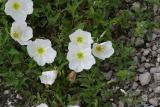 Showy Evening Primrose (Oenothera speciosa)
