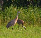 two sandhill cranes