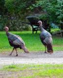 two tom turkeys