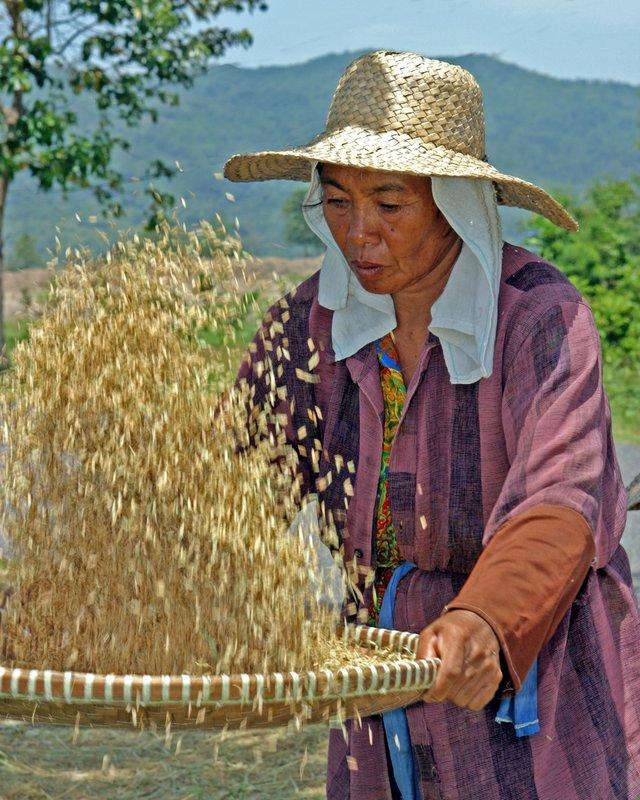 winnowing rice 02