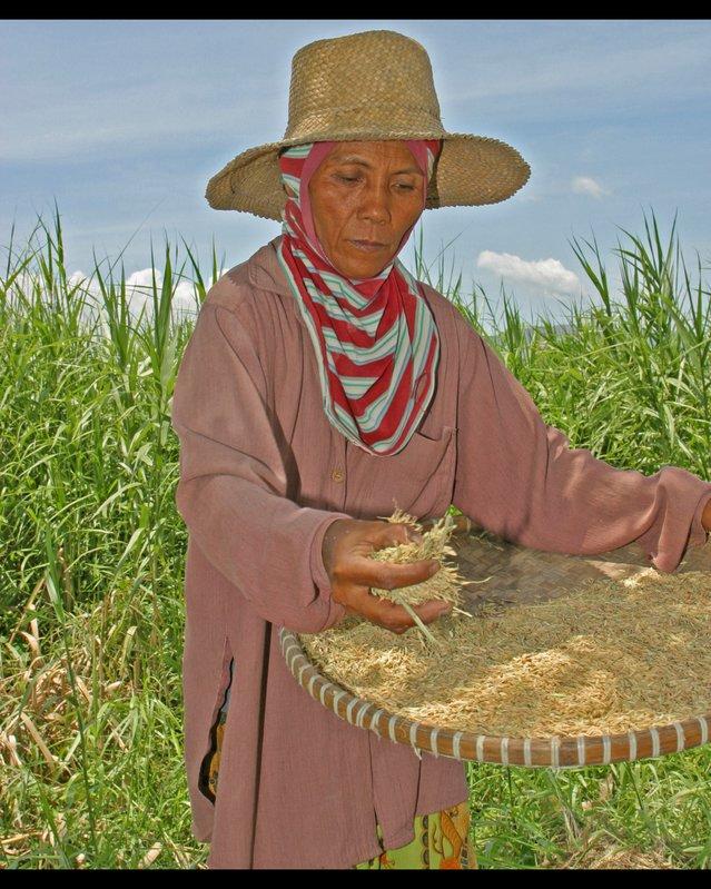 winnowing rice 03