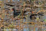 Little Grebe (bird at right)  Scientific name - Tachybaptus ruficollis  Habitat - freshwater ponds and marshes  [400 5.6L + Tamron 1.4x TC]