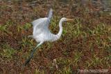 Great Egret  Scientific name - Egretta alba  Habitat - variety of wetlands.   [400 5.6L + Tamron 1.4x TC]