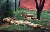 cheetahs at animal orphanage