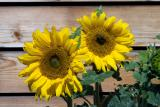 Sunflower Youngsters