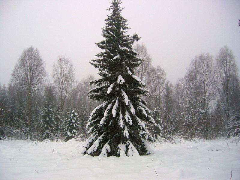 Lonely spruce in snow