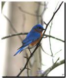 Blue Birds 2004 Louisiana