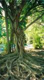Elephant tree, Hemingway's House