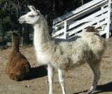 A friends Llamas...they live close by