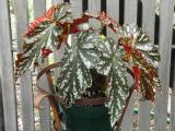 Begonia CatherineToo