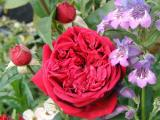 The Squire Rose with purple  Penstemon