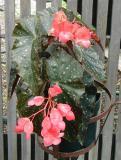 Begonia RubyTuesday