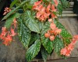 Begonia PeachParfeit