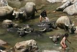 buffalo-wash-Sapa