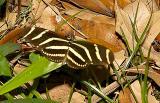 Zebra Heliconia