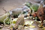 Iguanas and Chickens Free For All, Honduras