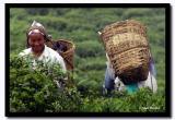 Tea Pickers, Darjeeling