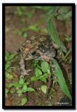 Frog, Pakang
