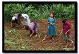 Kodho Planting Season, Pakang