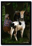 Milking the Cow, Pakang