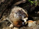 Groundhog eating.jpg(159)