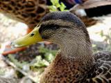 Duck Head2.jpg(291)