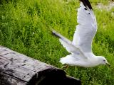 Seagull taking flight.jpg(166)