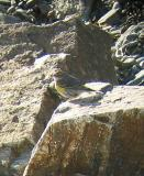 Yellow-rumped Warbler, Odiorne SP, NH, January