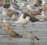 Glaucous Gull, Rochester WWTP, NH, December