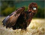 Ruffled-Eagle.jpg