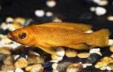 Neolamprologus leleupi longior