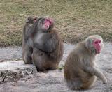 Grooming monkeys.jpg