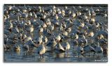 Oies des neiges / Snow Geese