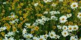 040_021 Yellow and White Daisy