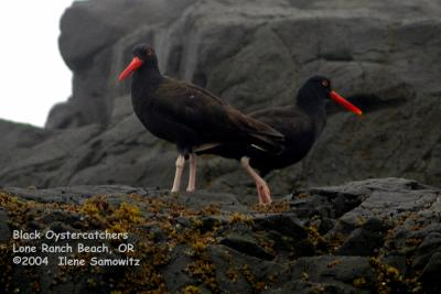 Black Oystercatcher 5326.jpg