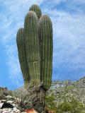 Rare four-arm saguaro