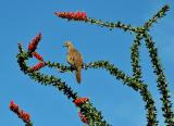 Dove in ocotillo