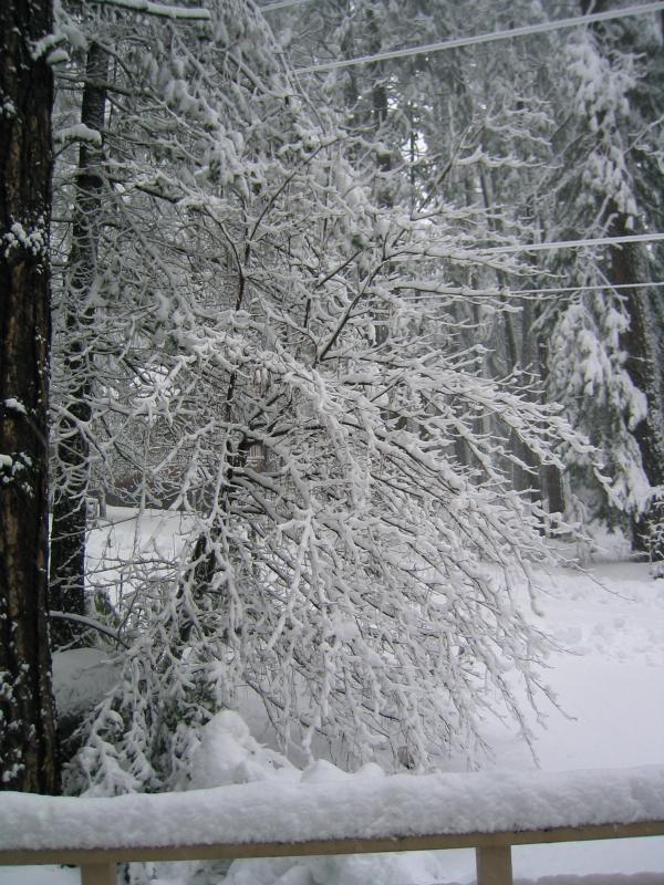 Snow Covered Dogwood